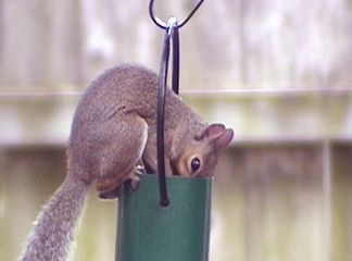 Squirril stealing bird food at the Belmont House
