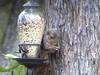 Squirrill on the feeder