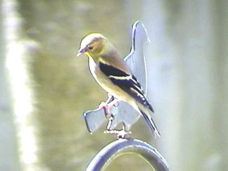 A gold finch from our backyard