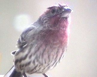 A red finch in our backyard