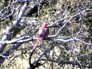 Cardinal in a tree at Enchanted Rock