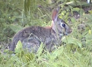 A widdel wascally wabbit that visited us every morning at our campsite