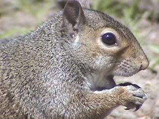 A little fat squirrel
