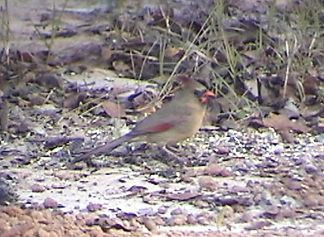 This is the female cardinal in our back yard