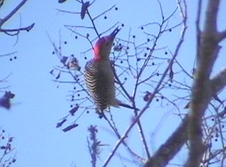 This is a Red Bellied Woodpecker in a tree in our fron yard