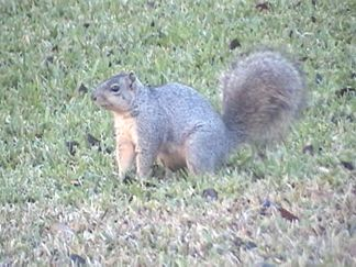 Our local squirril
