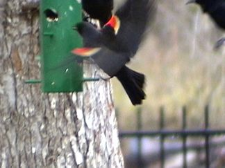 Redwinged blackbird in the back yard