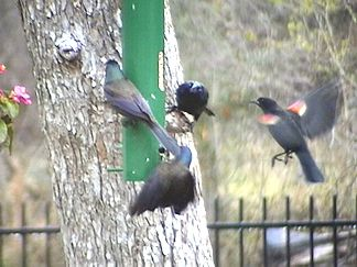 More Starlings and Redwinged Blackbirds
