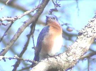 This is an Eastern Bluebird.  Looking at habitat maps - Houston is just about as far south as he ever gets and that's only in Winter