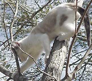 White kitty (chessie) climbing the tree