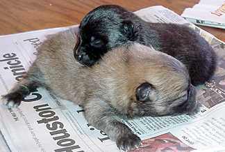 Betsys puppies born just before christmas - the brown one is a boy and the black one is a girl