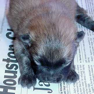 Betsys puppies born just before christmas - this brown one is a boy