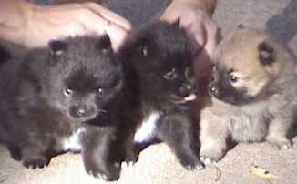 Joanie with three of Ricky and Lucy's previous puppies (Betsy on right).