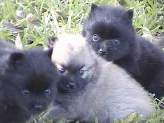 Three of ricky and Lucy's puppies. The brown one is Betsy. The other two have been given away.